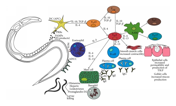 Helminthiasis basophilok Bazofil granulocita – Wikipédia