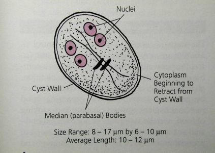 [Cryptosporidium and Giardia as water contaminant pathogens in Hungary].