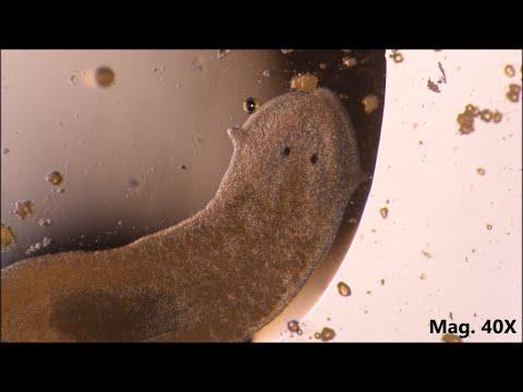 Típusú laposférgek bika szalagféreg. A bika szerkezete