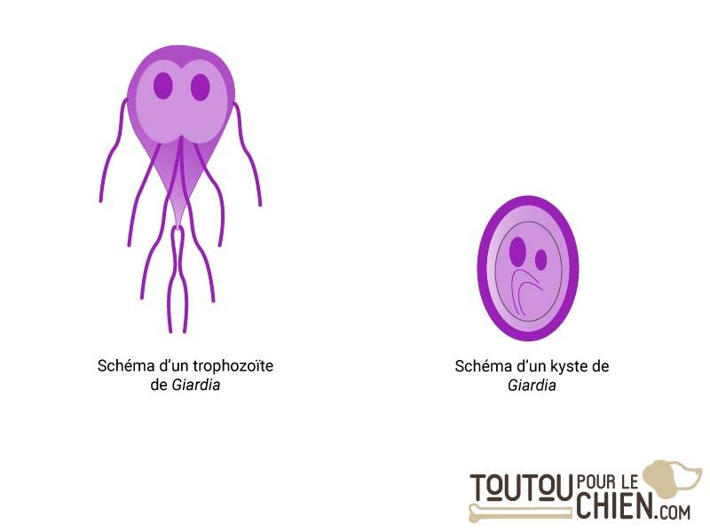 Les parasites chez l homme, Vacuna giardia humanos