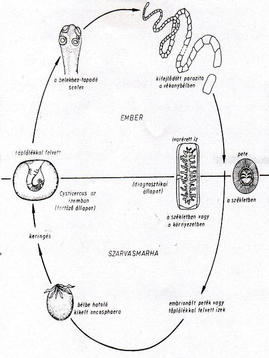A szarvasmarha szalagféreg fejlődésének lárvája. Galandférges fertőzés (taeniasis)