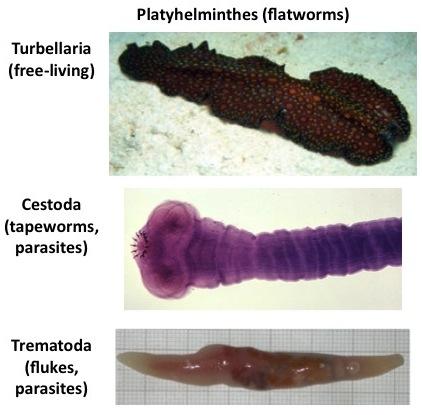 Platyhelminthes fluke