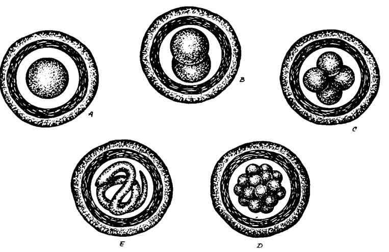 az emberi körférgek tojásainak mérete