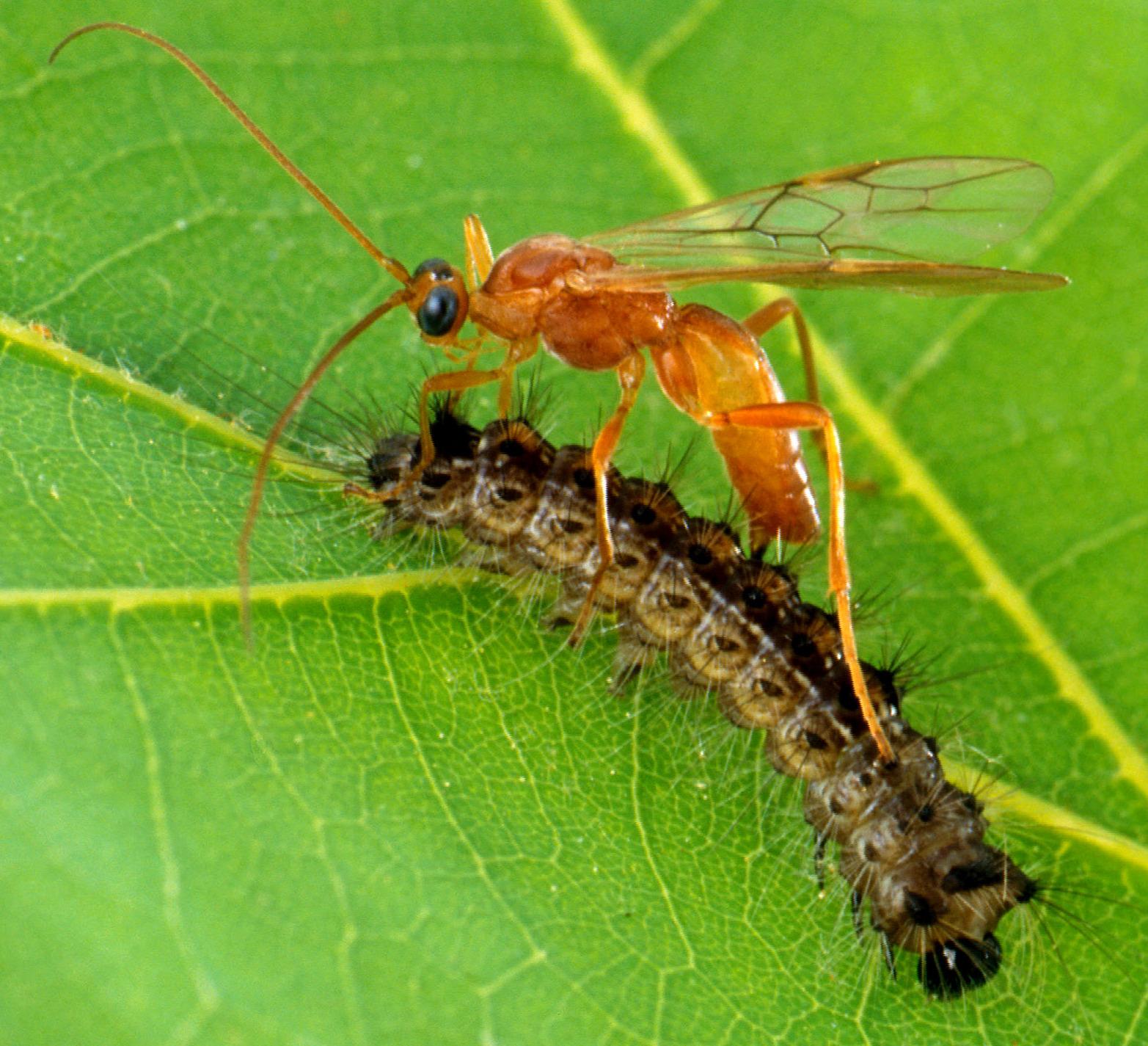 Index - Tudomány - Az élősködő darazsak szervezete rovarölő mérgeket tartalmaz