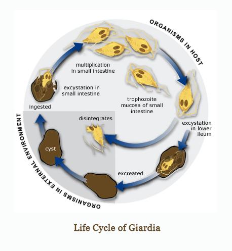 Ascaris emberi betegség giardiasis megengedett élelmiszerek