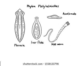 phylum platyhelminthes diagramon féreg a száj szaga attól, ami történik