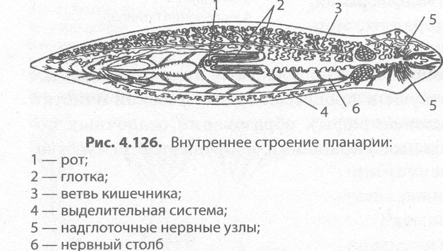A szarvasmarha szalagféreg emésztőrendszerrel rendelkezik férgek folyami hal kezelésében