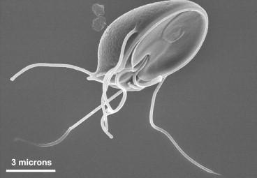 Helminták inkubációs periódusa