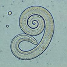 A trichinella biohelminth