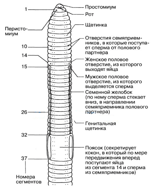 kerek féreg pinworm szalagféreg