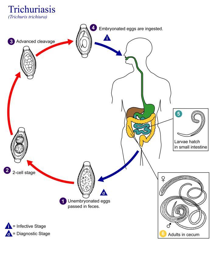Így hat a gyerekekre a koronavírus, Gyerek helmint fertőzés jelei