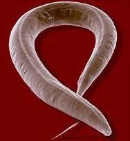 Gabona parazita