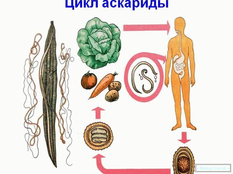 a parazita fejlődésének ideje
