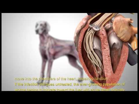 antihelmintikus gyógyszerek a dirofilariae ellen