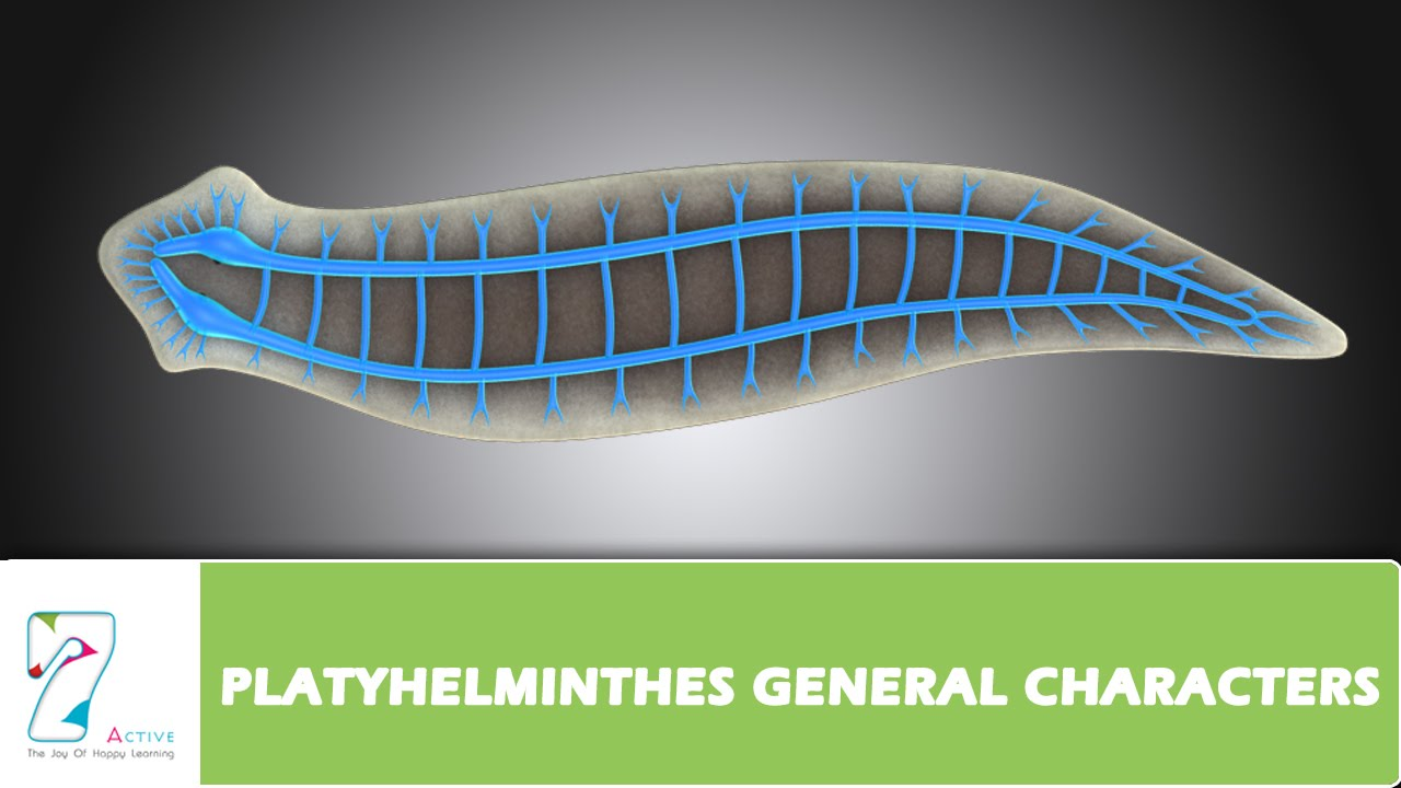 Anyag filum platyhelminthes