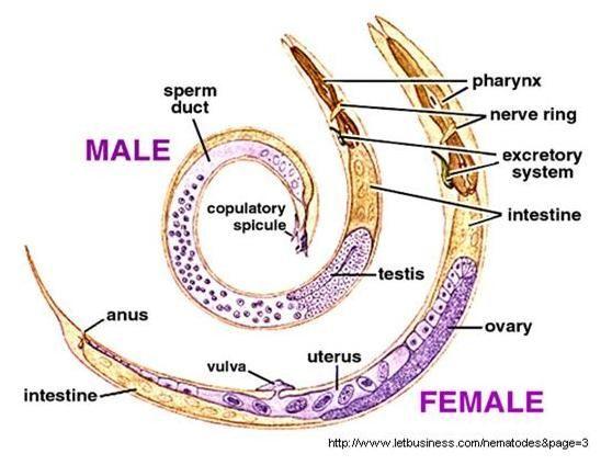 ápolási folyamat enterobiasissal parazita reakció