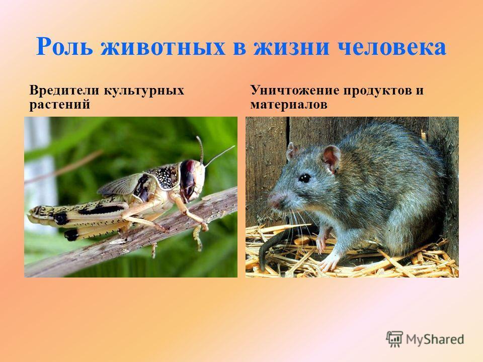 aszcariasis királyság helminthosporium sp caracteristicas