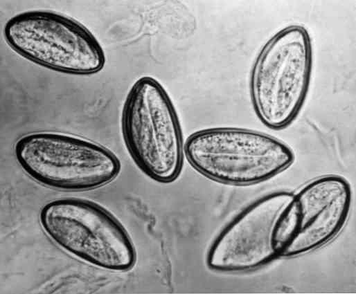 autoinfekciós paraziták