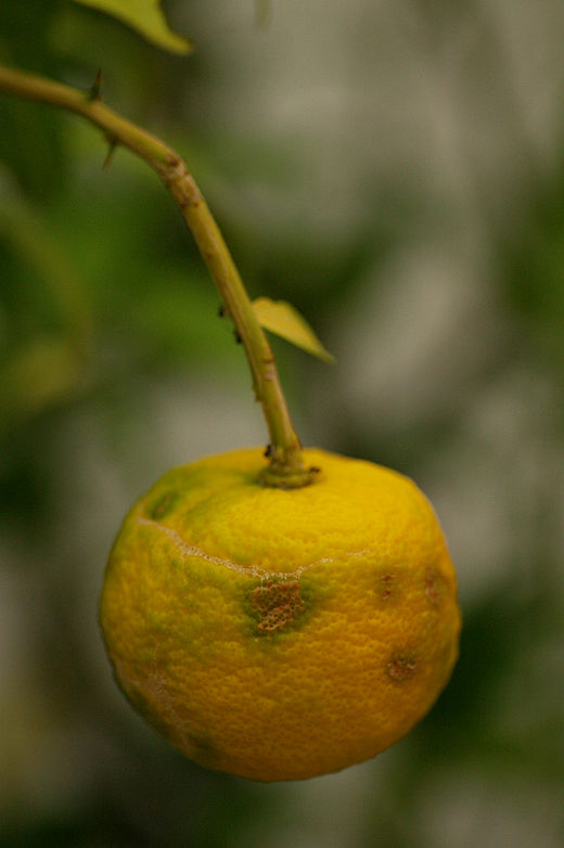 parazitakbol szarmazo citrom hogyan lehet a férgeket kezelni emberekben