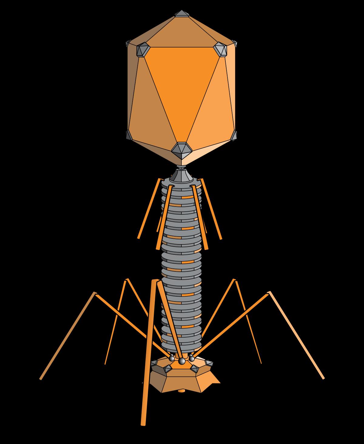 bakteriofág paraziták paraziták a testben, hogyan lehet megszabadulni tőlük
