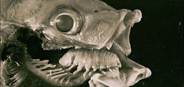 tisztítás a paraziták tinktúrájától A strongyle parazitálja az embereket
