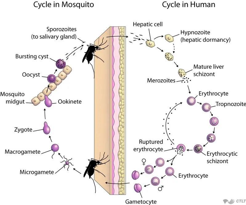malária plazmodium sporogony férgek a hüvelyben