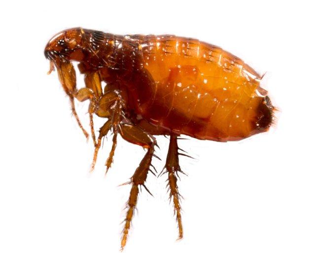ízületi paraziták