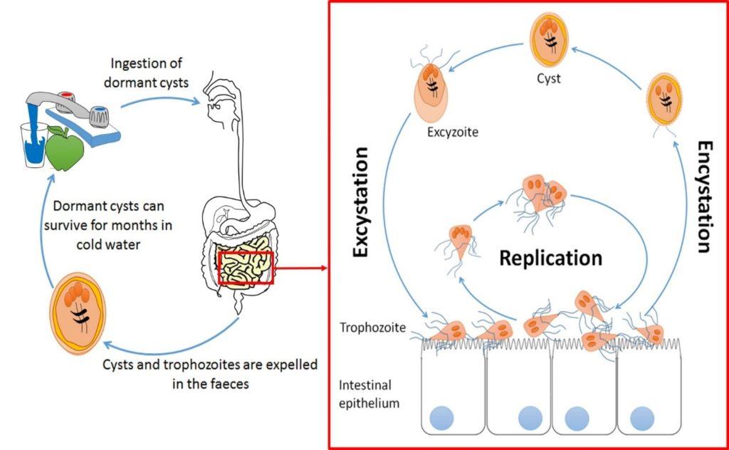 giardia pathogenesis mely tabletták jók a paraziták számára