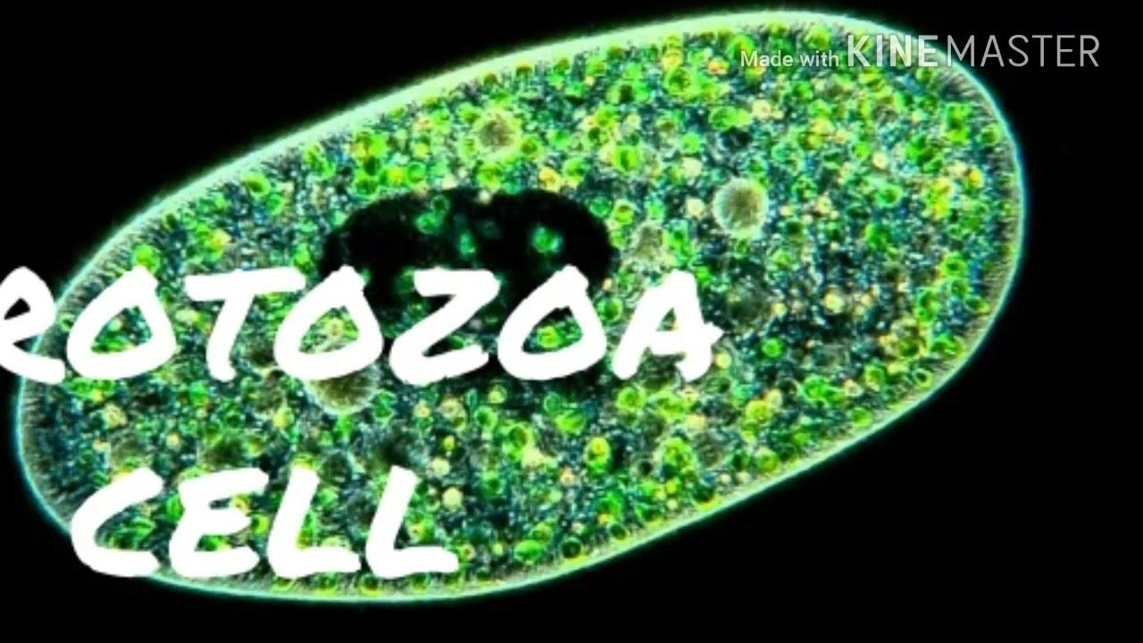 enterobiosis protozoa meghalnak e férgek