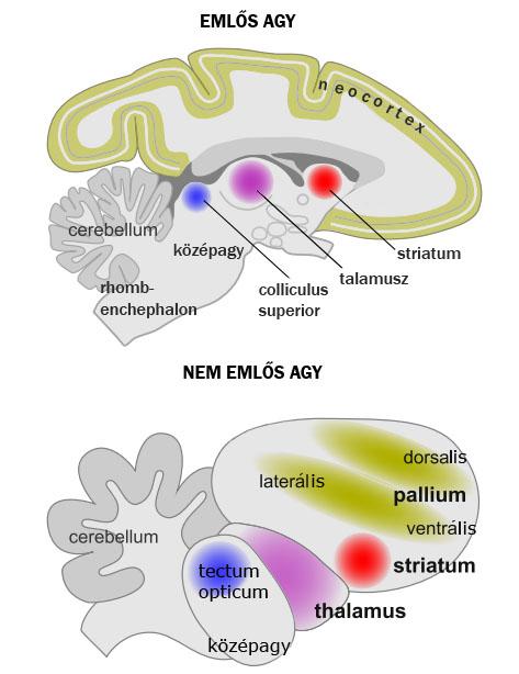 a kerekféreg fejlett idegrendszerrel rendelkezik