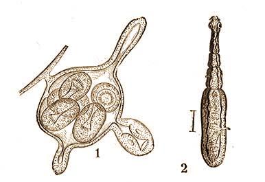 ostorféreg nő és férfi szervrendszerek a szalagféregben