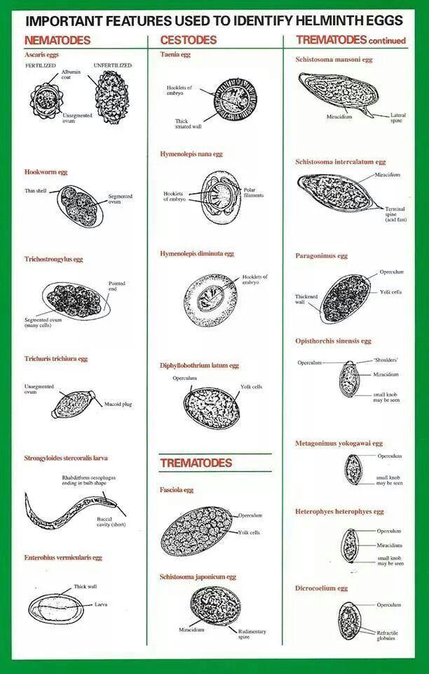 típusú férgek és kezelés trichocephalosis ciklus
