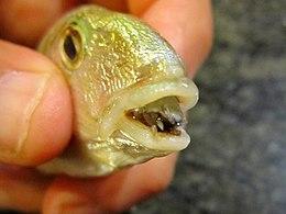 Parazita hal a nyelv fotó
