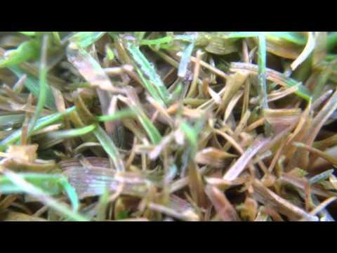 tamponok a pinwormshez nem bélben élő paraziták