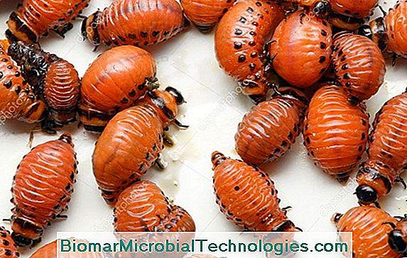 hogyan lehet megszabadulni a kicsi fehér férgektől italgyógyító paraziták