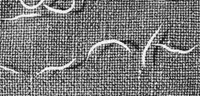 prokarióta paraziták gyógynövény férgek