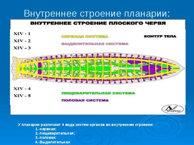 Platyhelminthes planáris idegrendszer