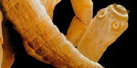 Galandféreg három csúcs. A vaddisznóhús valós veszélyei