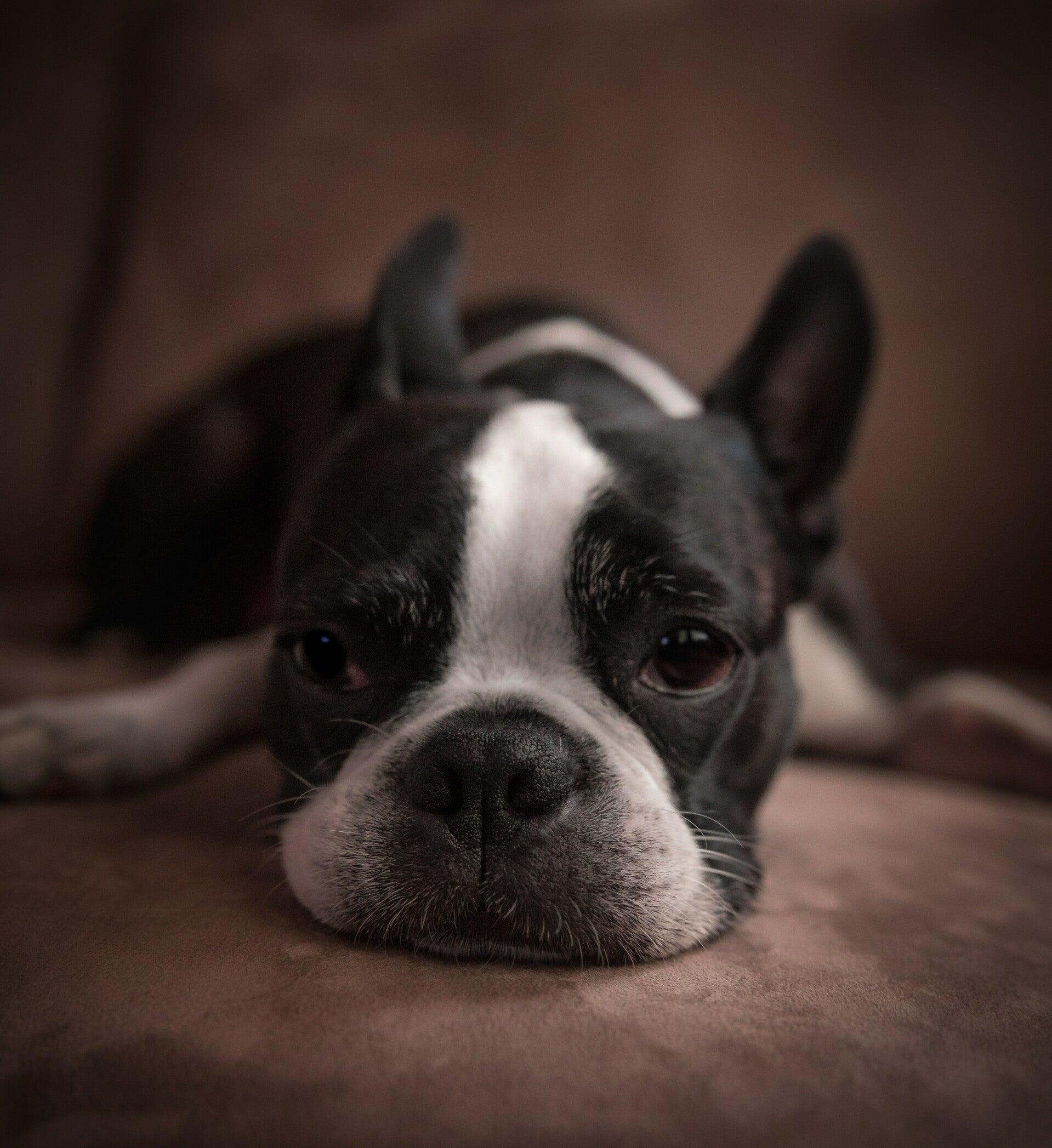 giardia bacterie bij honden