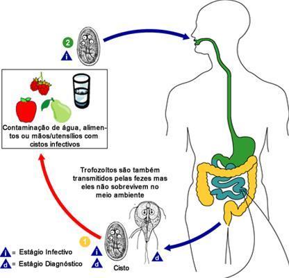 giardia duodenalis ciclo