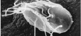 kerekféreg fertőzés Van férgek milyen gyógyszereket