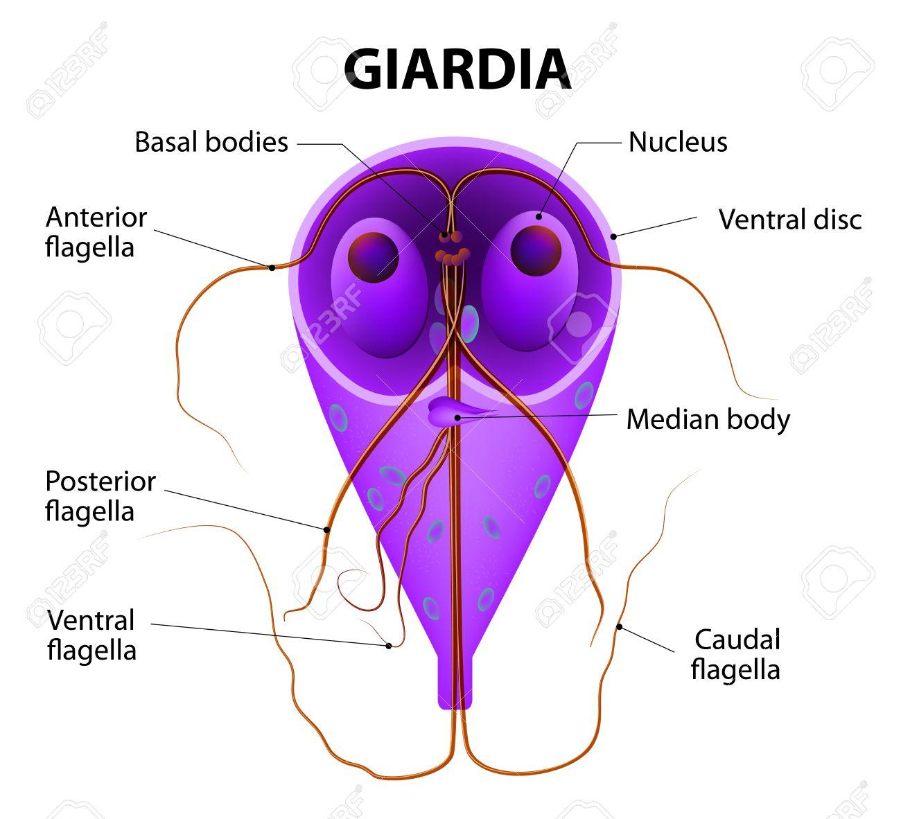 Giardia és más kezelt paraziták, Giardiázis: mit érdemes tudni róla? - HáziPatika