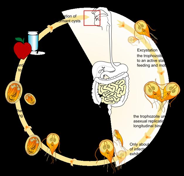 Diéta a giardiasis számára Kompetensek az egészséggel.