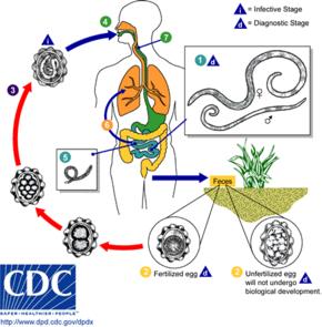 trichinella ciklus hogyan néz ki egy bika szalagféreg
