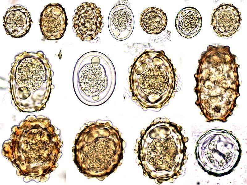 helminths tojás pollockban