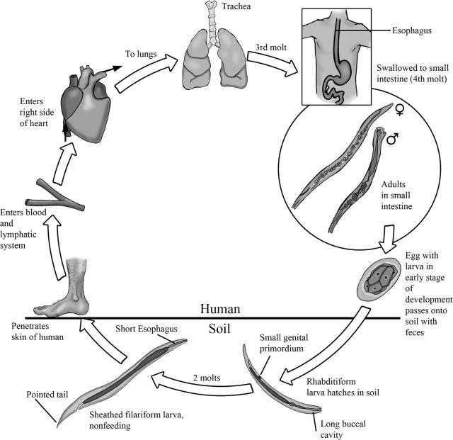 hookworm ankylostomiasis noncatorosis megtermékenyített ascaris tojás