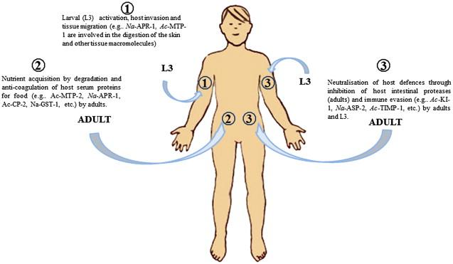 hookworm ankylostomiasis noncatorosis giardia lamblia gyógyszeres kezelése