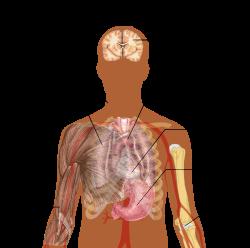 mi teszi a kerekférget az emberi tüdőben