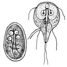 Giardia parazit