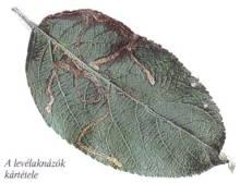 élősködő (parazita)